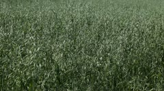 Oat Field, Green Cereal Landscape, Agriculture Farm Meadow, Grain, Countryside Stock Footage