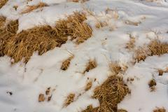 dry grass in the snow as a backdrop - stock photo