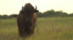 Buffalo in Pasture - Slow Motion Stock Footage