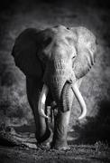elephant bull (artistic processing) - stock photo