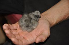 Silkie chick in human hand - stock photo