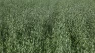 Stock Video Footage of Grain, Countryside, Oat Field, Green Cereal Landscape, Agriculture Farm Meadow