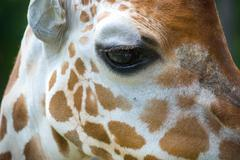 Giraffe Up close Eye - stock photo