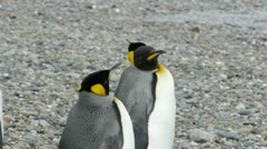 Camera pans across Penguin Colony - stock footage