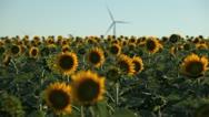 Sunflower Field in Summer, Wind Energy, Power Turbine, Renewable, Sustainable Stock Footage