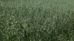 Green Cereal Landscape, Oat Field, Agriculture Farm Meadow, Grain, Countryside Stock Footage