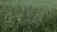 Stock Video Footage of Green Cereal Landscape, Oat Field, Agriculture Farm Meadow, Grain, Countryside