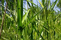 Reed leaves in the background Stock Photos