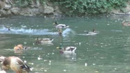 Stock Video Footage of Ducks on a Pond, Funny Ducks Playing on a Lake, Ducks Running One After Another