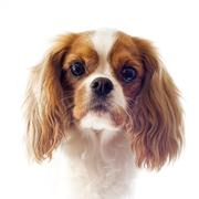 Cavalier king charles Stock Photos