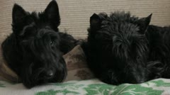 Two Scottish Terriers Stock Footage