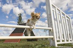 jumping chihuahua - stock photo