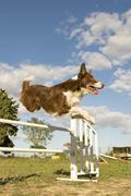jumping  border collie - stock photo