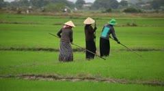 Vietnamese Women Working in Rice Fields Stock Footage