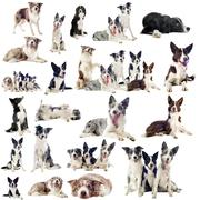border collies - stock photo