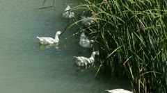Cane in River and ducks. - stock footage