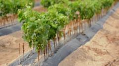 Young Vineyards in rows. Seedlings vines.Graft of the vines. Stock Footage