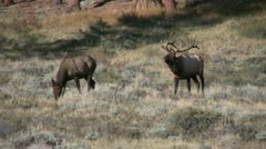 Rutting Bull Elk Chasing Cow Stock Footage