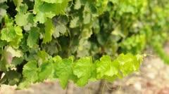 Vineyards - stock footage