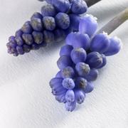 blue flower umbels - stock photo