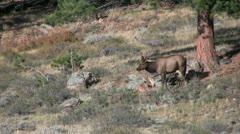 Cow Elk Walking Stock Footage