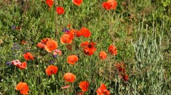 Red Poppies, Beautiful Poppy Field, Wild Poppy Flowers, Spring Blossom, Grass Stock Footage