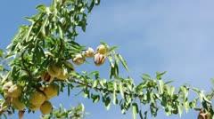 Almonds on branch. Blue sky background Stock Footage