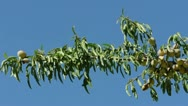 Almonds on branch. Blue sky background Stock Footage