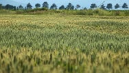 Stock Video Footage of Close Up Green Wheat Field, Cereal in Summer Season, Countryside, Bio, Eco