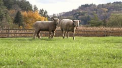 Sheep Bleating in a Field Stock Footage