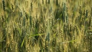 Stock Video Footage of Cereal Grass in Summer Season, Countryside, Bio, Close Up Green Wheat Field