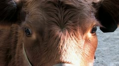 720p Brown Cow Stock Footage