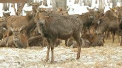 Deer pasture Stock Footage