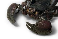 Scorpion face detail Stock Photos