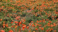 Beautiful Poppy Field, Red Poppies, Wild Poppy Flowers, Spring Blossom, Grass Stock Footage