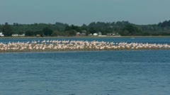 Large group of flamingos walking on peninsula Stock Footage