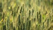 Stock Video Footage of Close Up Green Wheat Field, Cereal Grass in Summer Season, Countryside, Bio