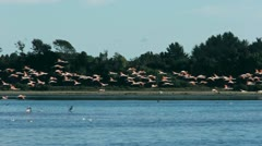 Flamingos flying over bay Stock Footage