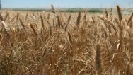 Stock Video Footage of Gold Golden Wheat Fields, Cereal Grass in Summer Season, Countryside, Bio