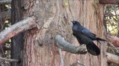 Black Raven In Tree Stock Footage