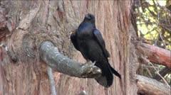 Black Raven on Tree Branch Stock Footage