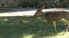 Deer Walking and Grazing in Green Grass - stock footage