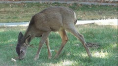 Fawn Eating Green Grass Stock Footage