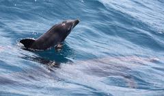 New born wild bottlenose dolphin Stock Photos
