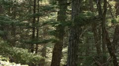 Old Growth Alaskan Forest Scene - reverse zoom Stock Footage