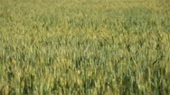 Stock Video Footage of Large Green Wheat Fields, Cereal in Summer Season, Countryside, Bio, Eco