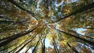 Looking up to blue sky through the top of the autumn yellow trees of the forest Stock Footage