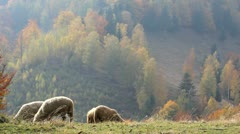Sheep grazing mountain autumn pasture Stock Footage