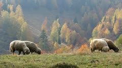 Some sheep on the mountain summit during an autumn day Stock Footage