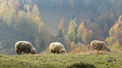 Few sheep grazing an alpine autumn meadow Stock Footage